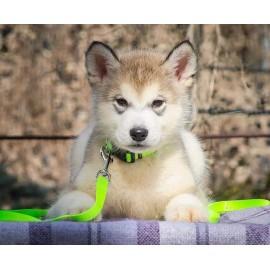Набор ошейник и поводок для щенков или маленьких собачек