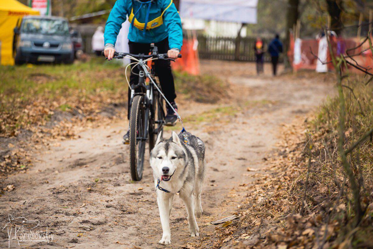 Характерные травмы ездовых собак на трассе